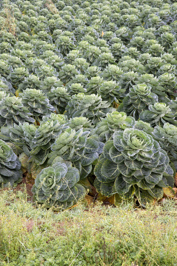 Field of Brussel sprouts in the UK. Brussel Sprouts crop growing on an English farm in Gloucestershire UK stock photography