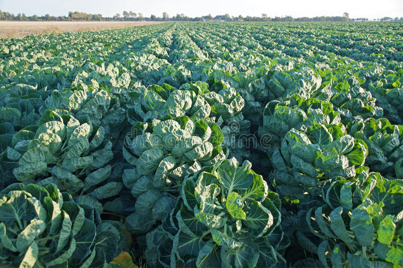 A field of Brussels sprouts royalty free stock photography