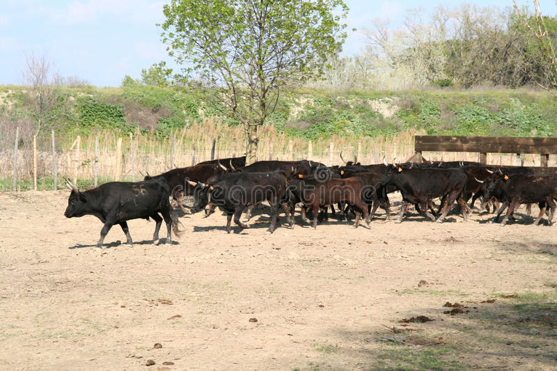 Field Of Bulls. Royalty Free Stock Images