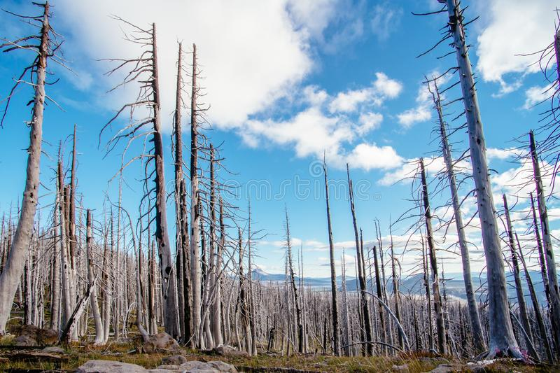 Field of burned dead conifer trees with hollow branches in beautiful old forest after devastating wildfire in Oregon royalty free stock photo