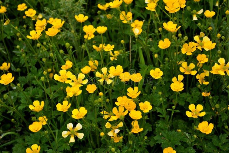 Field of buttercups stock photos