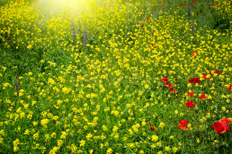 Download Field with buttercups stock image. Image of nature, clear - 24993943
