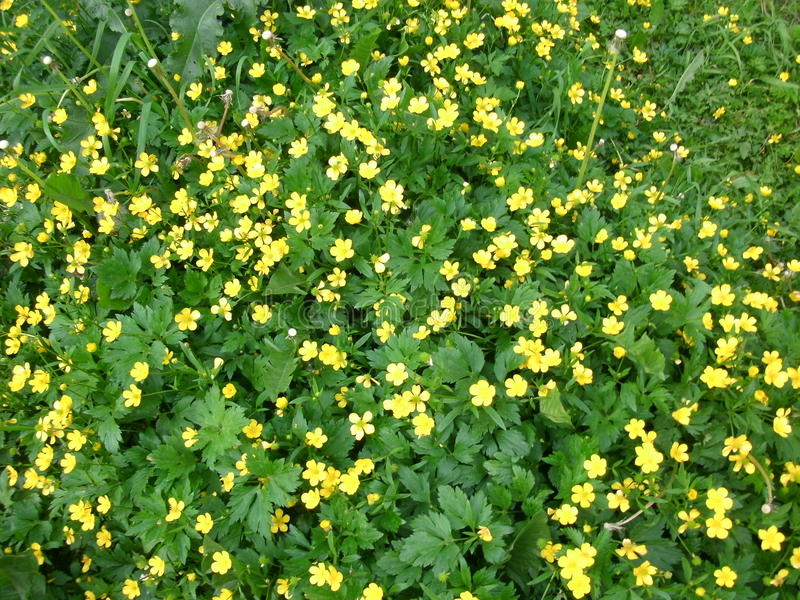 Download Field of buttercups stock image. Image of forest, russia - 76907663