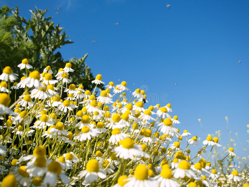 Download Field of camomile stock image. Image of close, drug, green - 5338761