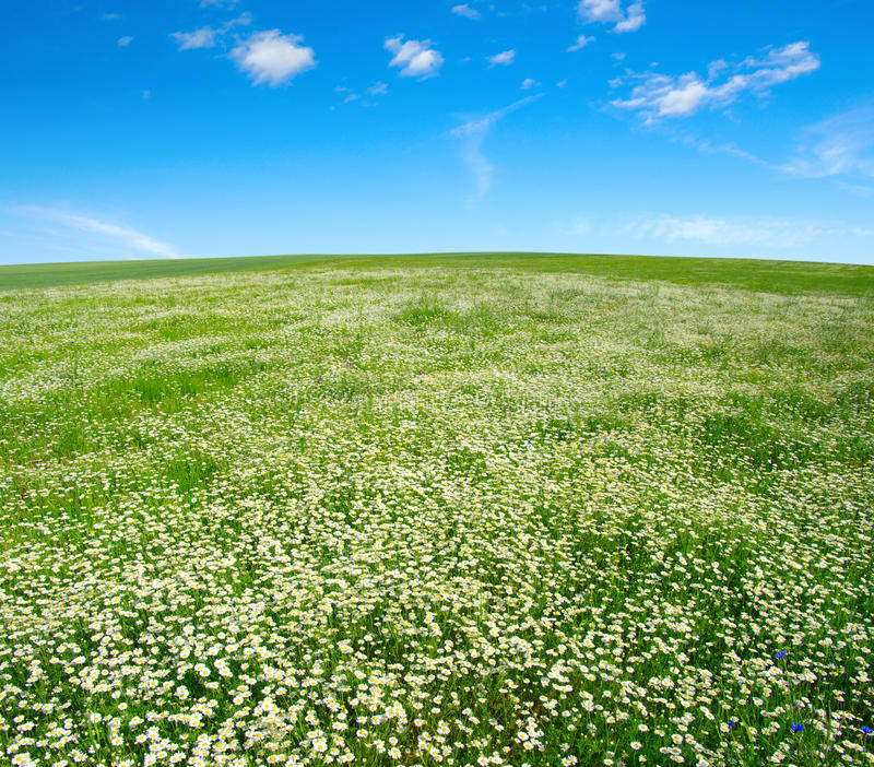 Download Field Of Camomiles Stock Photography - Image: 30469162