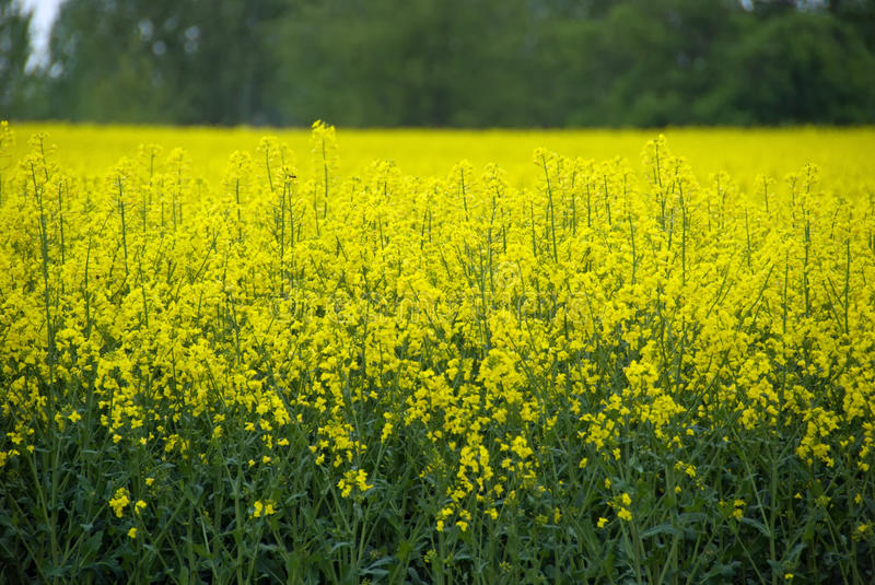 Field of canola. stock photography