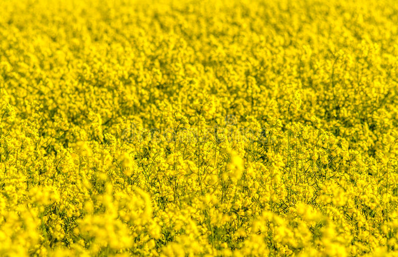Field of canola stock photo image of province outdoors 49612142 download field of canola stock photo image of province outdoors 49612142 mightylinksfo