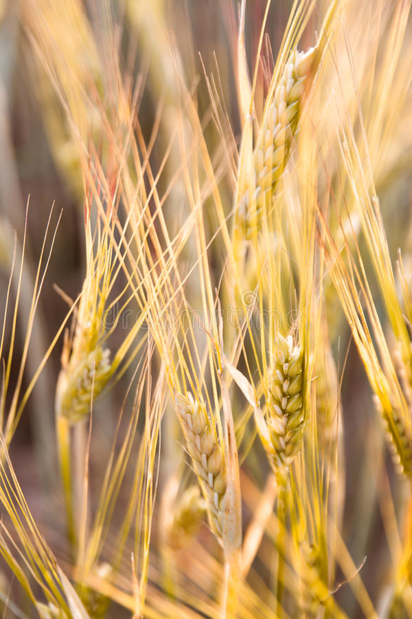 Field of cereals royalty free stock images
