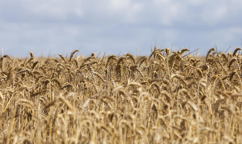 Download Field of Cereals stock photo. Image of cereals, golden - 92167626