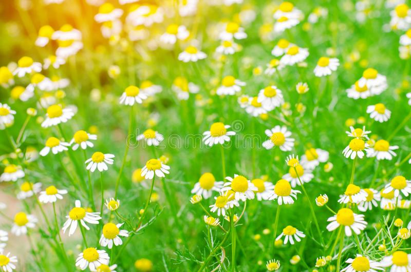 Download Field Of Chamomile Close Up Beautiful Meadow On A Sunny Day Summer