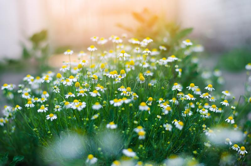 Field of chamomile close-up. beautiful meadow on a sunny day. summer flowers. nature wallpaper. nature. / stock image