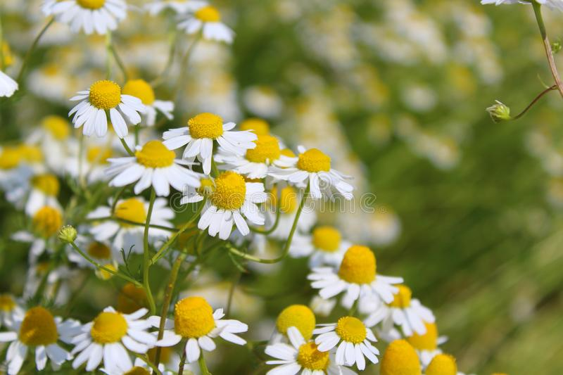 Field with chamomile plants Matricaria chamomilla in flower royalty free stock photos