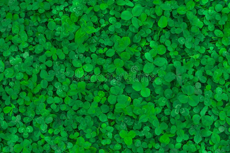 Field of clover. Green background for Saint Patrick`s day.  royalty free stock image
