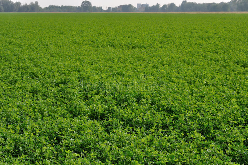 Field of cloverleaf, emilia. Sunny field of cloverleaf near po river, parma countryside, emilia royalty free stock image