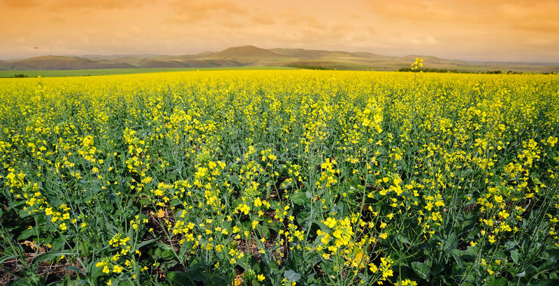 Download Field of cole flowers stock image. Image of crops, nice - 27719647