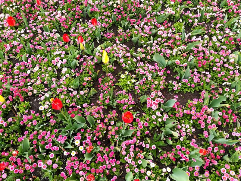 Field of colorful spring flowers in the city park. royalty free stock photo