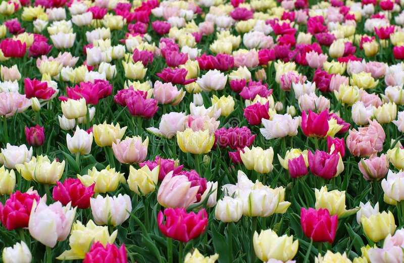 Field of colorful tulips stock photos