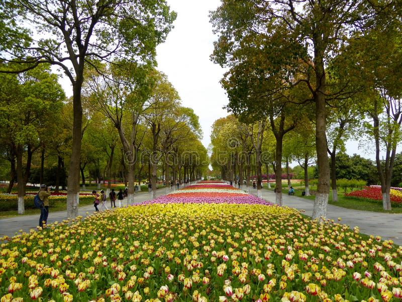 A field of colorful tulips blooming between camphor trees in early spring royalty free stock images