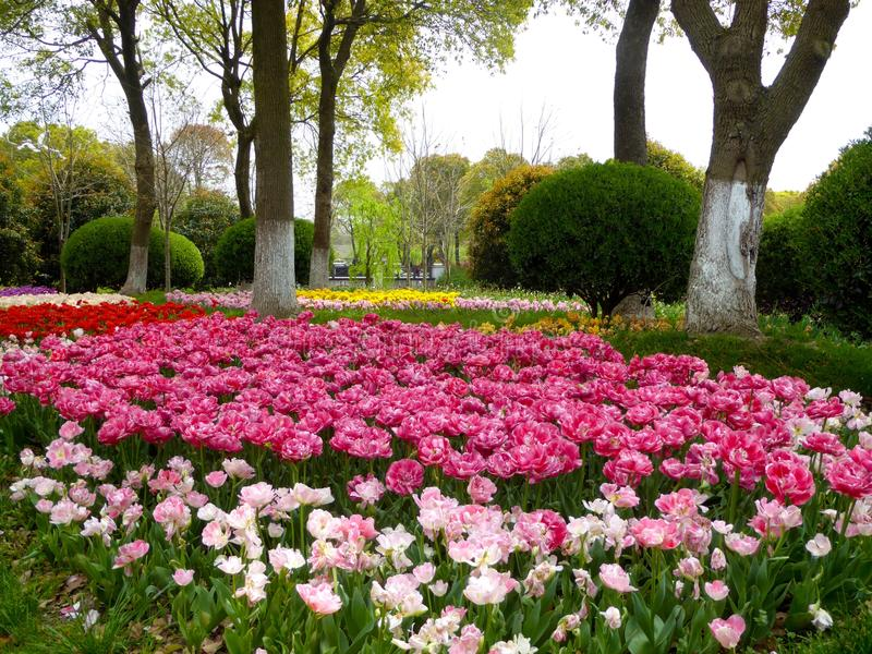 A field of colorful tulips blooming between camphor trees in early spring stock images