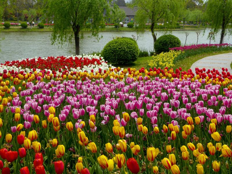 A field of colorful tulips blooming near a lake stock photo