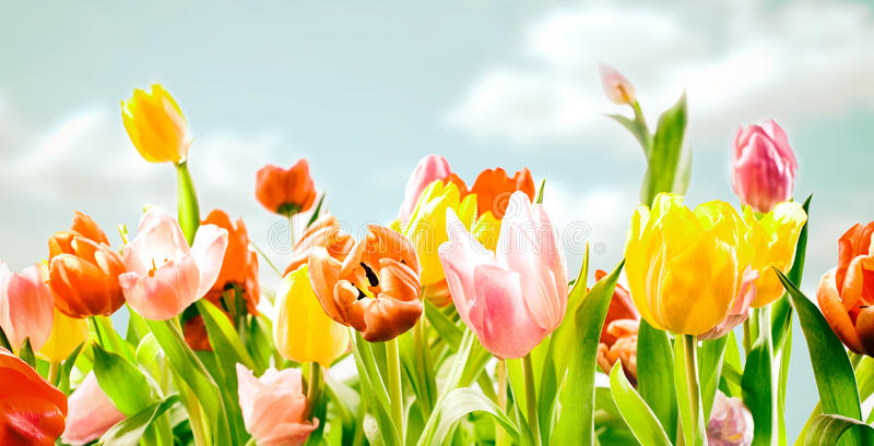 Field of colourful ornamental spring tulips stock photography