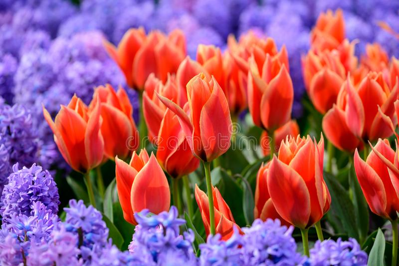 Field of colourful tulips in Holland , spring time flowers in Keukenhof stock images