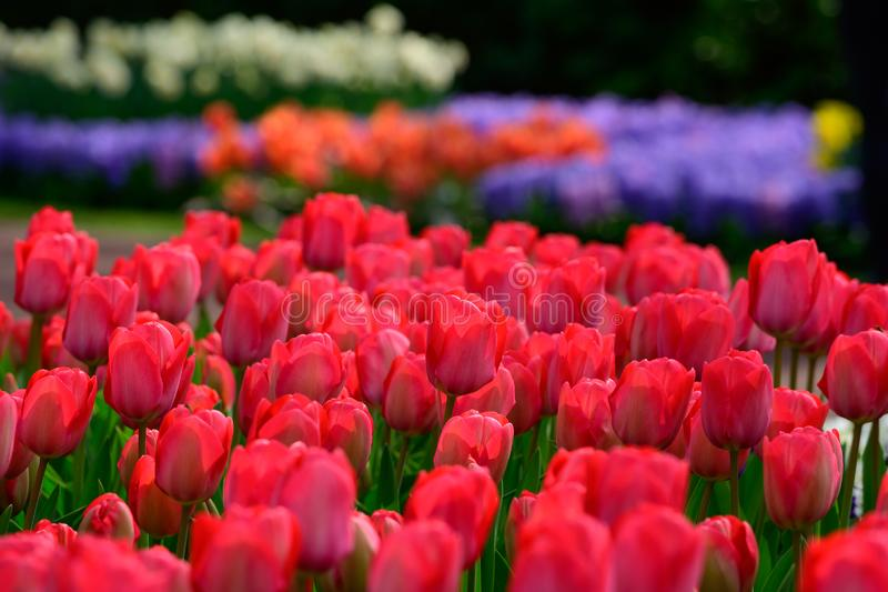 Field of colourful tulips in Holland , spring time flowers in Keukenhof stock photography