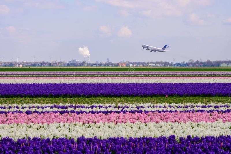 Field of colourful tulips and hyacinth in Holland , spring time flowers in Keukenhof. Field of colourful tulips in Holland , spring time flowers royalty free stock images