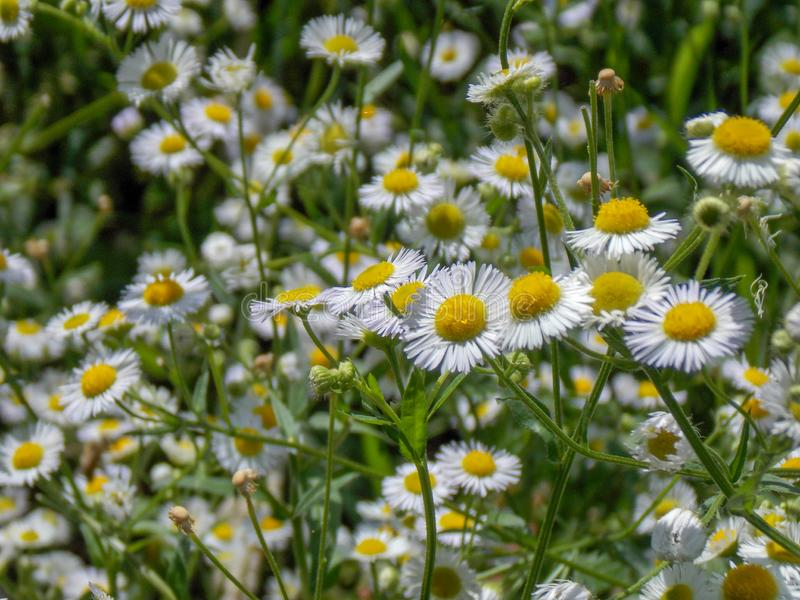 Field of oxeye daisies in the summer day. stock images