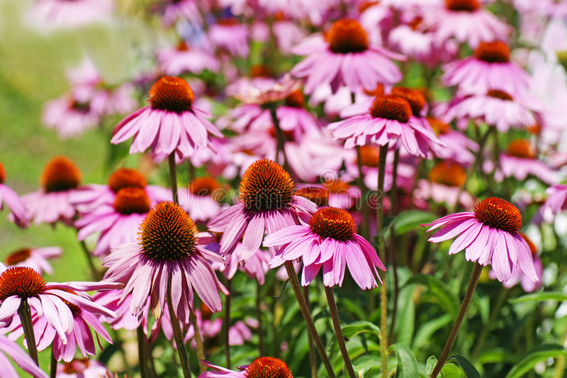 Field of coneflowers royalty free stock photo