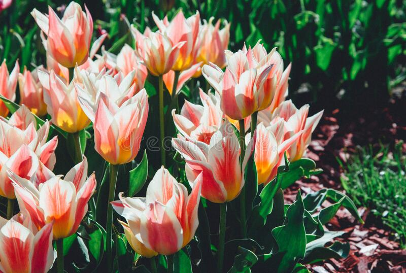 Field of coral tulips with selective focus. Spring, floral background. Garden with flowers. Nature. Field of coral tulips with selective focus. Spring, floral royalty free stock photos