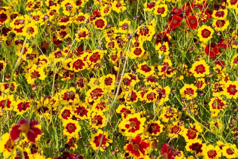 Field of Coreopsis grandiflora flowers stock image