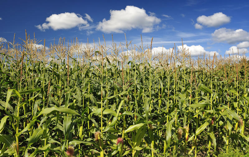 Download A field of corn stock image. Image of landscape, growth - 15946747