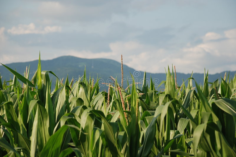 Download Field of Corn 2 stock image. Image of sweetcorn, grow - 5744917