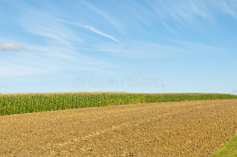 Field of corn royalty free stock photos
