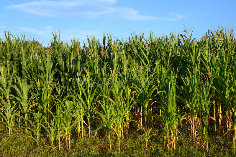 Field of corn royalty free stock image