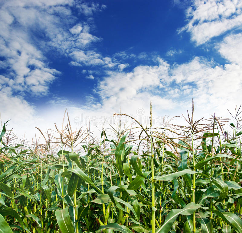 Download Field of corn stock photo. Image of nature, corn, country - 26960942