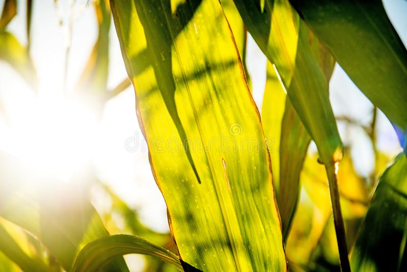 Field of corn in back light royalty free stock photos