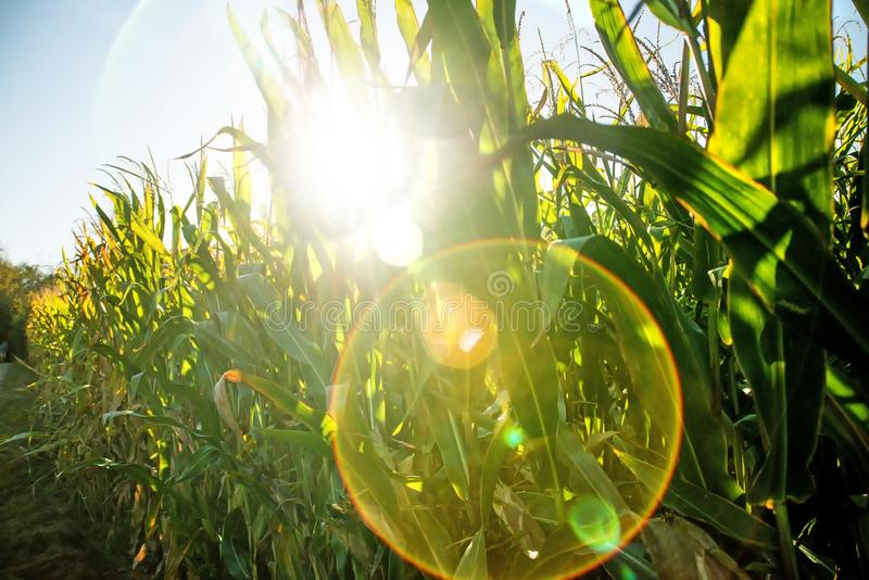 Field of corn in back light stock images