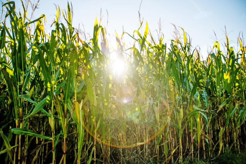Field of corn in back light royalty free stock photography