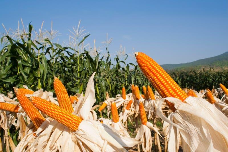 Field corn for feeding livestock royalty free stock photos