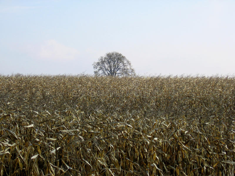 Field of corn after harvest with a clear sky-stock photos royalty free stock photo
