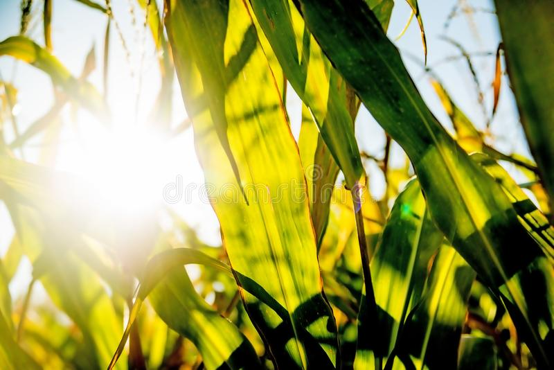 Field of corn in back light royalty free stock photo