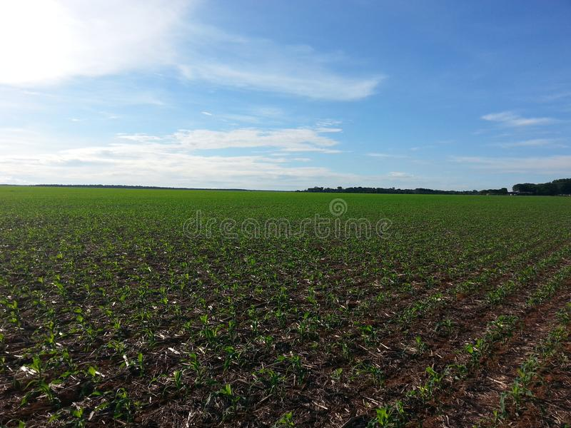 Field of corn in mato grosso, brazil royalty free stock images