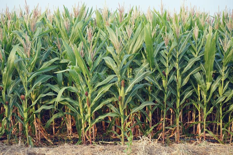 Field corn planting crop in fruiting stage, traditional agriculture concept. Field corn planting crop in fruiting stage, traditional agriculture farm concept royalty free stock photos