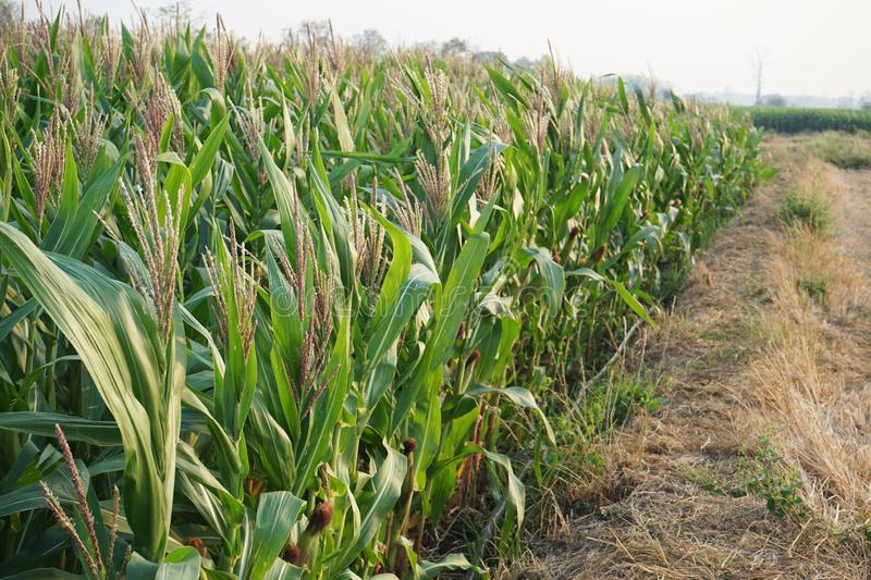 Field corn planting crop in fruiting stage, traditional agriculture concept stock image