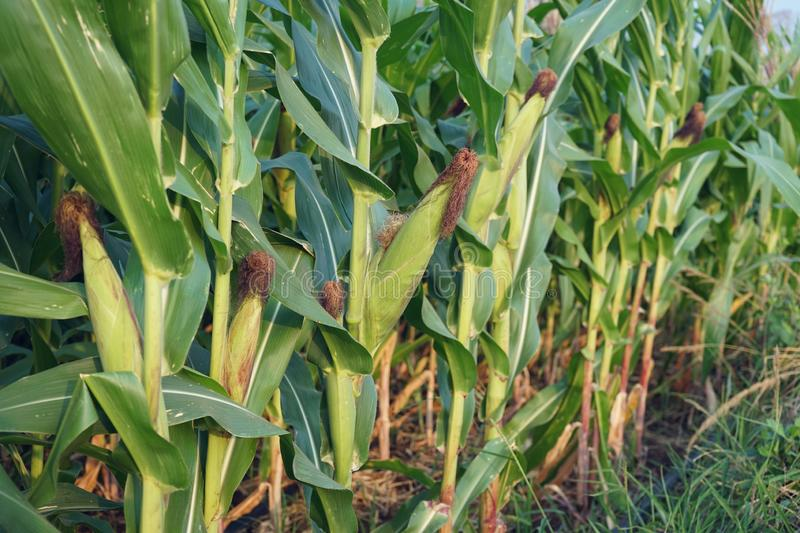 Field corn planting crop in fruiting stage, traditional agriculture concept. Field corn planting crop in fruiting stage, traditional agriculture farm concept stock photos