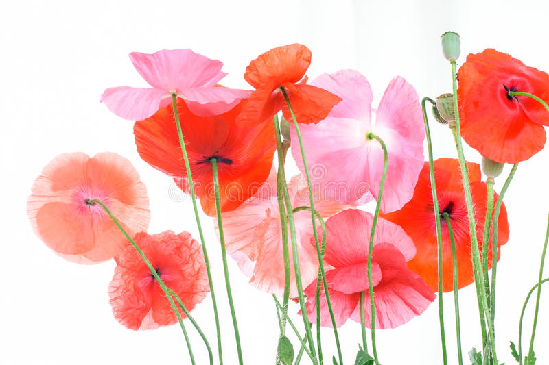 Field with corn poppies stock image
