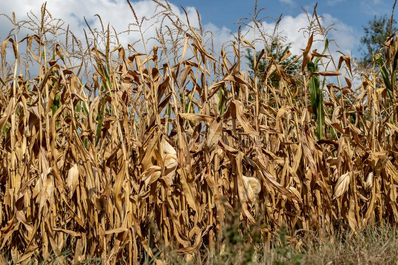 A field of corn ready for donation. Harvest destroyed by drought royalty free stock images