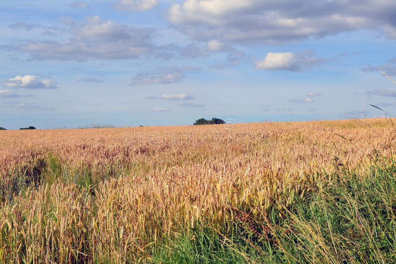 A Field of Corn royalty free stock image